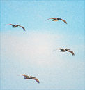 Pelicans_in_Flight_-_Gaviota_Beach2C_California.jpg